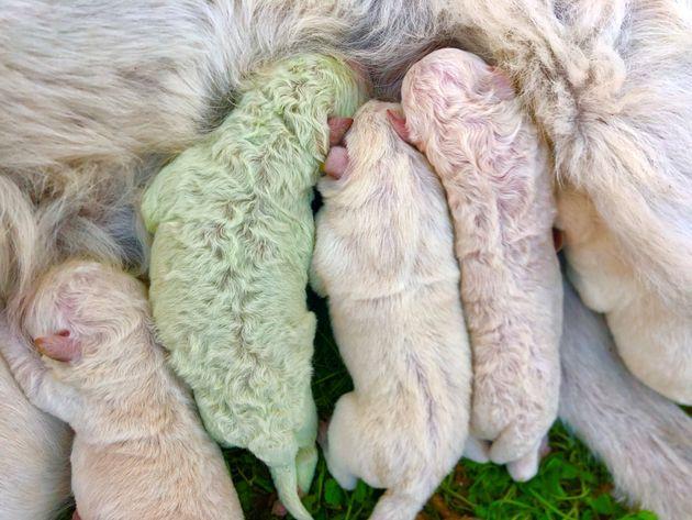 Το πράσινο κουτάβι που το λένε